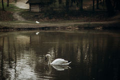 Beautiful white swan swimming in a pond at British wildlife park Stock Image