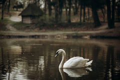 Beautiful white swan swimming in a pond at British wildlife park Stock Photos