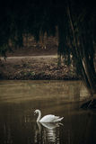 Beautiful white swan swimming in a pond at British wildlife park Stock Photography