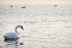 Beautiful white swan swimming in winter sea Stock Photos