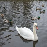 A beautiful white swan swims on a lake in the company of ducks and drakes royalty free stock photos