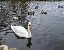 A beautiful white swan swims on a lake in the company of ducks and drakes stock image
