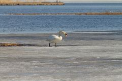 A beautiful white Swan swims in the lake, partially covered with ice on a Sunny spring day royalty free stock photos