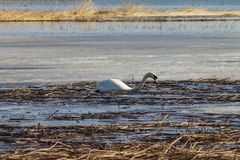 A beautiful white Swan swims in the lake, partially covered with ice on a Sunny spring day royalty free stock photo