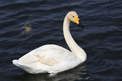 Beautiful white swan. Swims in a pond Stock Photos