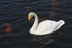Beautiful white swan swims. In a pond Stock Photos