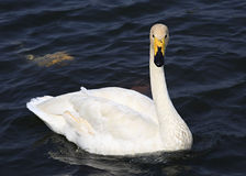 Beautiful white swan Royalty Free Stock Photos