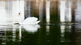 White Swan swims on mirror surface of lake.