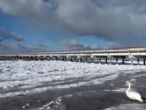 White swan on Baltic sea coast, Lithuania royalty free stock photo