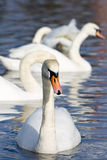 Beautiful white swans Royalty Free Stock Image