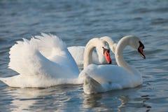 Beautiful white swans Royalty Free Stock Photos