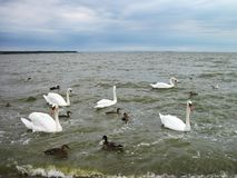 Beautiful white swans and duck in lake, Lithuania Stock Photography