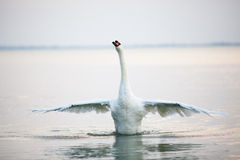Beautiful white swans floating Royalty Free Stock Photos