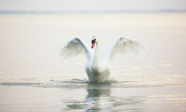 Beautiful white swans floating Royalty Free Stock Images