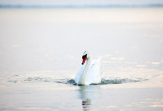 Beautiful white swans floating Stock Image
