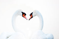 Beautiful white swans floating Stock Photos