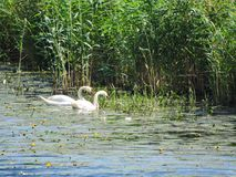 Two white swans in lake, Lithuania Royalty Free Stock Photos
