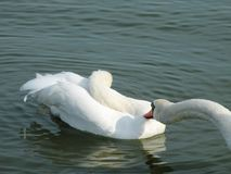 Beautiful white swans in lake, Lithuania Royalty Free Stock Images