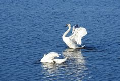 Two white swans in lake, Lithuania royalty free stock photo