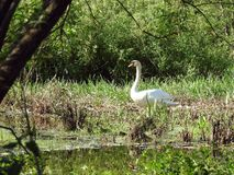 Beautiful white swans near  lake, Lithuania Stock Photography