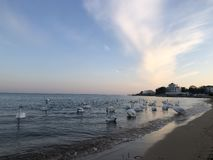 Beautiful white swans on the seashore on sunset background royalty free stock photo