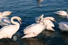 Beautiful white swans standing in water on a sunny day in Belgrade Royalty Free Stock Photos
