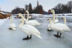 Beautiful white swans Royalty Free Stock Image