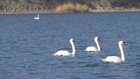 Two beautiful white swans swim on Abrau lake in search of fish. Beautiful white swans swim on the lake in search of rest and food. HD stock footage