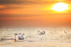 Beautiful white swans swimming in the golden ocean at sunrise. Sunset. Can be used for bird, animal, nature, landscape, sunrise, sunset, ocean themes Royalty Free Stock Images