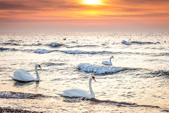 Beautiful white swans swimming in the ocean at sunrise sunset. Can be used for bird, animal, nature, landscape, sunrise, sunset, ocean themes Royalty Free Stock Images