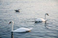 Beautiful white swans swimming in winter sea Stock Photo