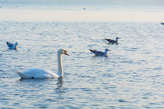 Beautiful white swans swimming in winter sea Royalty Free Stock Photo
