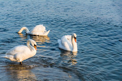 Beautiful white swans swimming in winter sea Royalty Free Stock Image