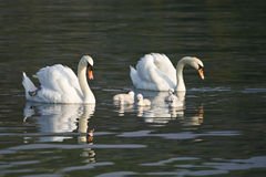 Beautiful White Swans With Their Nestling Stock Photo
