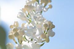 Beautiful white syringa vulgaris flowers in sun light.  stock photo