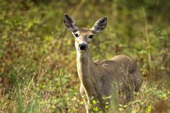 White tail deer among the brush. A beautiful white tail deer in the forest near Rathdrum, Idaho Stock Image