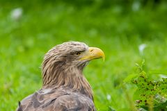 Beautiful white tailed eagle standing on the stamp stock image