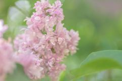 Beautiful white and tender pink syringa vulgaris flowers in soft light.  stock photos