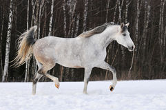 Beautiful white Tersk horse runs on the snow. Beautiful white Tersk horse runs trot on the snow Royalty Free Stock Photos