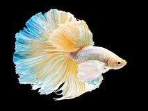Beautiful white Thai fighting fish swimming with long fins and l Royalty Free Stock Photo