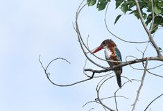Beautiful White-throated  Kingfisher perched on a tree Stock Images