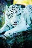 Beautiful white tiger. Animal, wild, wildlife, cat, nature, predator, bengal, zoo, big, eye, face, head, fur, portrait, stripes, striped, danger, power, hunter stock images