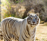 Beautiful white Tiger Stock Photos