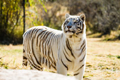 Beautiful white Tiger Stock Image