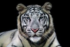 Beautiful tiger closeup with black background. A beautiful white tiger with a black background overlooking the cameran Stock Photography