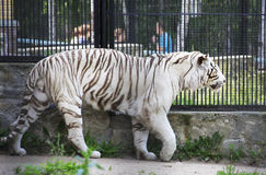 Beautiful white tiger in a cage. Novosibirsk Zoo. Russia Stock Image