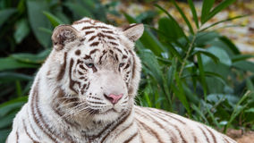 Beautiful White Tiger Lying Down Stock Image