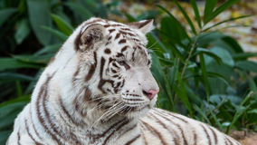 Beautiful White Tiger Lying Down Portrait 4 Stock Photo