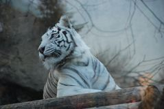 Beautiful white tiger in a Moscow zoo royalty free stock images