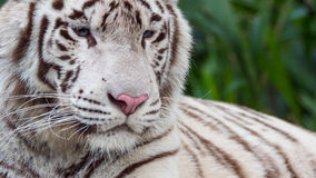Beautiful White Tiger Portrait Close-up Stock Photography